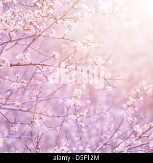 Gentle white flowers on fruit tree branch in morning purple sun light, natural background, first blooming, spring - Stock Photo