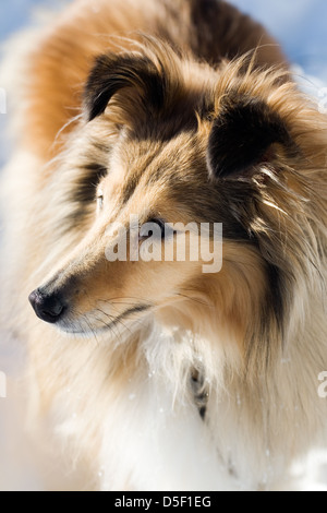 Sheltie looking at something outdoors in winter - Stock Photo