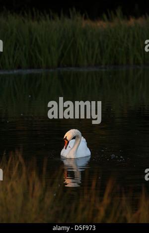 A mute swan. - Stock Photo