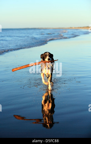 Young border collie dog running with stick on beach - Stock Photo