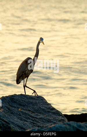 Great Blue heron on the rocks at the Jetty in Venice Florida - Stock Photo