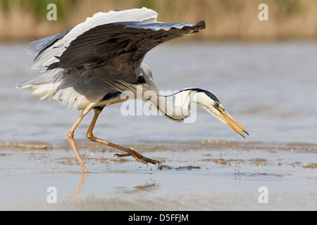 Grey heron (Ardea cinerea) hunting with outstretched wings - Stock Photo