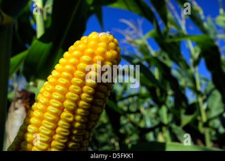 Closeup of corn in corn field - Stock Photo