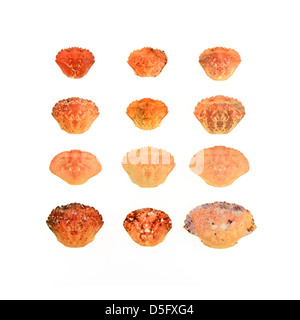 Twelve crab shells on a white background. - Stock Photo