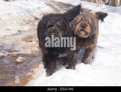 Two cute dogs running in the snow - Stock Photo