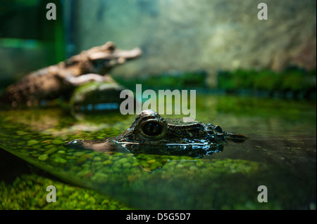 Captive alligators / crocodiles - Stock Photo