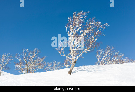 Silver birch trees covered in snow and frost. - Stock Photo