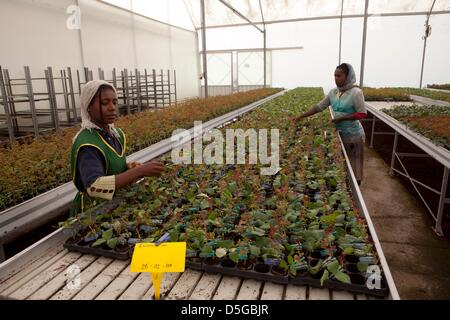 Ethiopian flowerr farm - Stock Photo