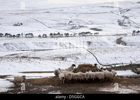 Teesdale, County Durham, UK. 31st March 2013. Snow cover remains in Teesdale, County Durham, England, UK where sheep - Stock Photo
