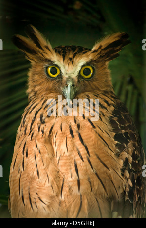 Manage to shoot thru the fences to catch this beautiful buffy/malay fish owl. - Stock Photo