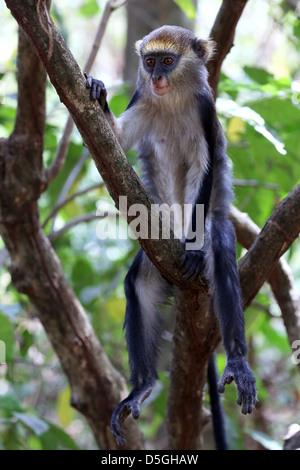 sacred Mona monkeys of the Boabeng Fema Monkey Sanctuary, Ghana - Stock Photo