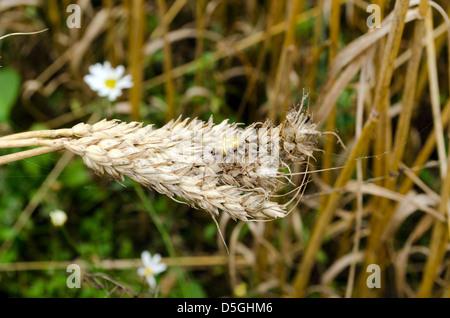 four-spot orb-weaver araneus quadratus spider on wheat ears in agriculture field. - Stock Photo