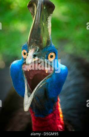 Images of Australian cassowary look into the camera angry face. - Stock Photo