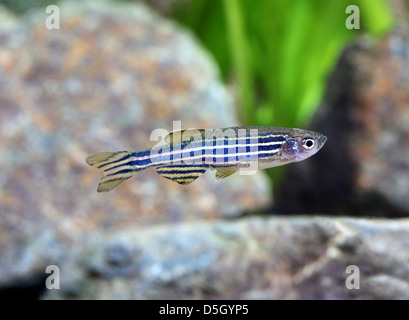 Zebra Danio [ Brachydanio rerio ] in aquarium - Stock Photo