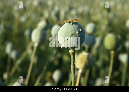 harvest of opium from poppy on the agriculture field - Stock Photo