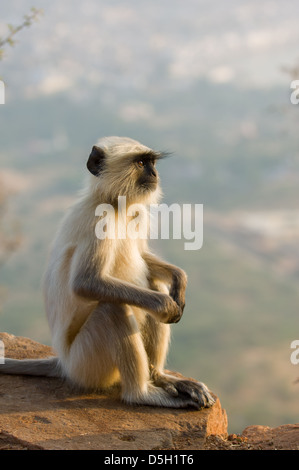 Grey Langur (Semnopithecus entellus) sitting on top of the hill by the Savitri Temple, Pushkar Mela, Pushkar, Rajasthan, - Stock Photo