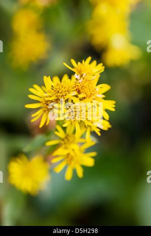 Northern Goldenrod (Solidago multiradiata, aster, asteraceae) Denali National Park, Alaska, USA - Stock Photo