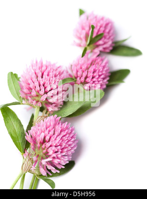 clover flowers isolated - Stock Photo