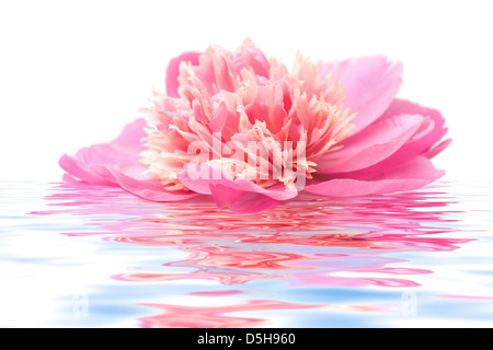 pink peony flower floating in water isolated - Stock Photo