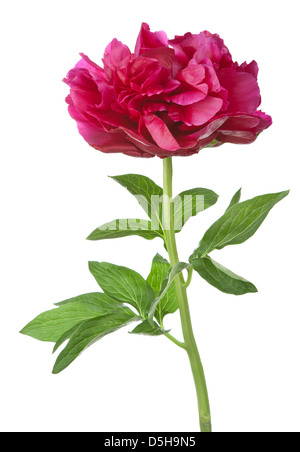 red peony flower isolated - Stock Photo