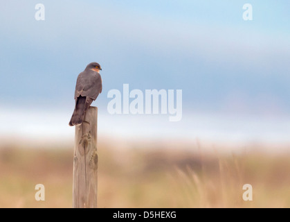 Wild Male Sparrowhawk (Accipiter nisus) perched on post beside Severn Estuary - Stock Photo