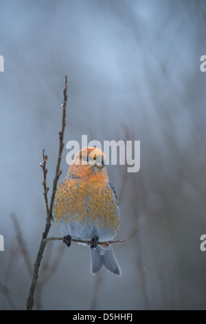 Female Pine Grosbeak (Pinicola enucleator). Europe. - Stock Photo