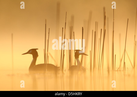 Pair of Great Crested Grebes (Podiceps cristatus), Europe - Stock Photo