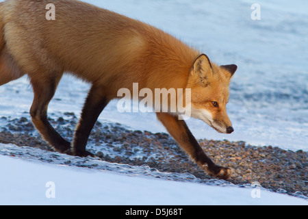 Superb male red fox hunter in Canadian winter. - Stock Photo
