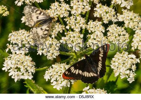 Two butterflies feed on yarrow (Achillea millefolium) along Gold Creek near Snoqualmie Pass. - Stock Photo