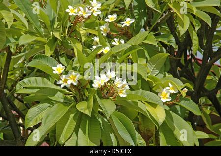 Frangipani White Plumeria - Stock Photo