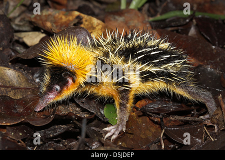 Lowland Streaked Tenrec (Hemicentetes semispinosus) in a defensive posture in the rainforest of Ranomafana, Madagascar. - Stock Photo