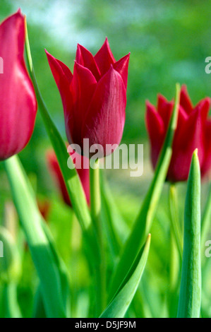 Photograph of a line of bright red tulips with selective focus on one of them. - Stock Photo