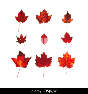 Bright red autumn foliage: maple leaves from Bar Harbor, Maine - Stock Photo