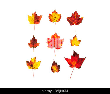 Mottled red and yellow maple leaves; fall foliage. - Stock Photo