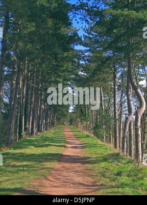 Avenue of Scot's Pine Trees (Pinus sylvestris) Along the South Staffordshire Railway Walk, Himley, Staffordshire, - Stock Photo