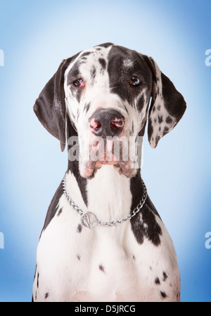 A young male harlequin Great Dane pet dog in a studio with a vignetted light blue faded background making eye contact.
