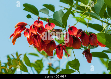 Erythrina crista-galli, Coxcomb Coral-tree - Stock Photo