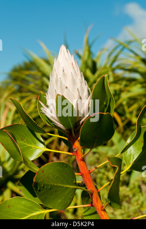 Protea cyanoroides, King Protea - Stock Photo