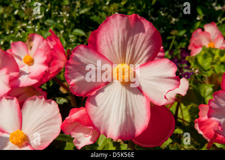 Begonia x semperflorens-cultorum, Pink Wax Begonia - Stock Photo