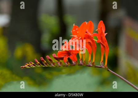 Crocosmia x curtonus, Lucifer Crocosmia - Stock Photo