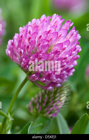 red flower clover on green background leaf - Stock Photo