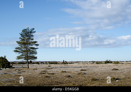 Lone pine tree at the Great Alvar Plain on the island Oland in Sweden
