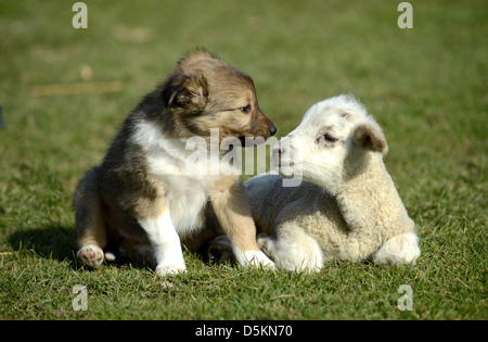 Puppy and lamb play together - Stock Photo
