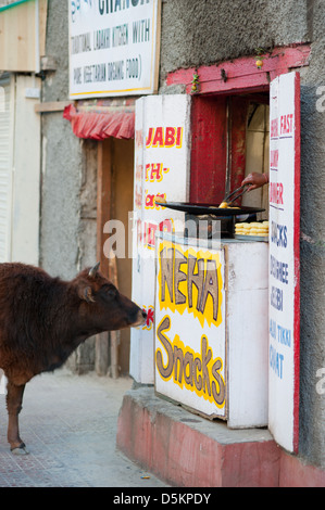 A hungry cow on the Main Bazaar at Leh, Ladakh, Jammu and Kashmir. India. - Stock Photo