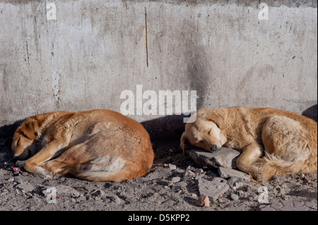 Cute, homeless, street dogs, sleeping in the mountain town of Leh, Ladakh, Jammu and Kashmir. India. - Stock Photo