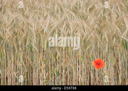 ENGLAND; NORFOLK; POPPY; FIELD; RED; FLOWER; POPPIES; FLOWERS; DETAIL - Stock Photo