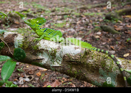 Jesus Christ lizard or Emerald Basilisk, Basilicus plumifrons, male on a trunk, in Costa Rica., Central America. - Stock Photo