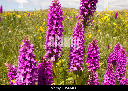 Group of Southern Marsh Orchids on Sand Dunes Amid Yellow Flowers, Braunton Burrows Devon, UK. - Stock Photo