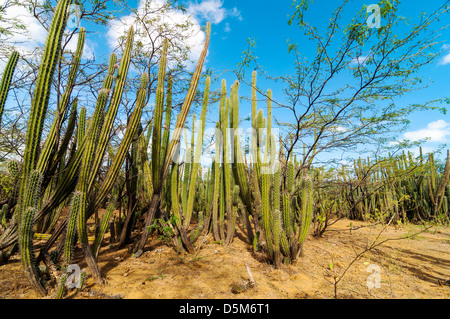 Dense cactus growth in a dry desolate desert - Stock Photo