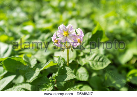 Flowering potato plant (Solanum tuberosum), Rosabelle variety - Stock Photo